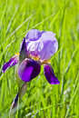 Purple iris flowering with a back lit natural green background Stock Image