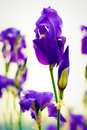 Purple iris germanica in a garden contrasting with gray sky candid image Stock Images
