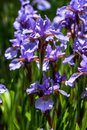 Purple Iris plant Royalty Free Stock Photo