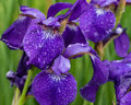 Purple iris and the rain drops they collect Royalty Free Stock Photo