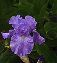 Purple iris with water drops closeup of on green background Royalty Free Stock Photos