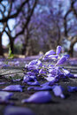 Purple Jacaranda flowers close up Royalty Free Stock Photo