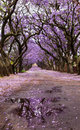 Purple Jacaranda trees in flowery lane Royalty Free Stock Photo