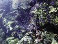 Purple juvenile fish swarm Royalty Free Stock Photo