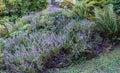 Purple Lavender Closeup Royalty Free Stock Photo