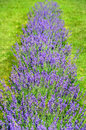 Purple lavender flowers in bloom shows vertical row Royalty Free Stock Photo