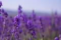 Purple Lavender Flowers In The...