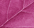 Purple leave texture close up Royalty Free Stock Photography