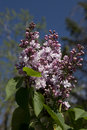 Purple Lilac in bloom Royalty Free Stock Images