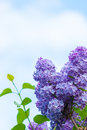 Purple lilac in blue sky at bright daylight Stock Photos