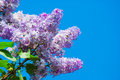 Purple lilac in blue sky at bright daylight Stock Photo