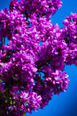 Purple lilac in blue sky at bright daylight Stock Photography