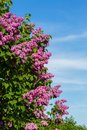 Purple lilac bush blooming in may day city park bunch of violet flower sunny spring front of blue sky Stock Photo