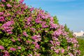 Purple lilac bush blooming in may day city park bunch of violet flower sunny spring front of blue sky Stock Image