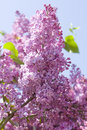 Purple lilac flower on blue sky vertical Stock Image