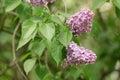 Purple lilac flower on bush closeup Royalty Free Stock Photo