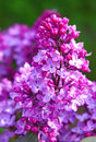 Purple lilac flowers in the garden Royalty Free Stock Photography