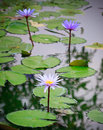 Purple lilly lotus on nature pond Royalty Free Stock Photos