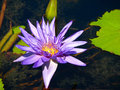 Purple lily pad flower. Royalty Free Stock Photo
