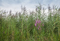 Purple loosestrife between flowering reed found in a marshy area blooming reeds Stock Photography