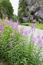 Purple loosestrife at the road side Stock Image