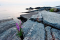 Purple loosestrife on a rock crevice Stock Photo