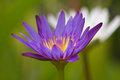 Purple lotus. Stock Photos