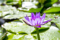 Purple lotus with with bee green leaf Stock Image