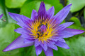 Purple lotus bee swarm on green background Royalty Free Stock Photo