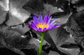 Purple lotus blooming on the pond with sunlight black and white one tone version Royalty Free Stock Image