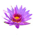 Purple lotus flower beautiful single isolated on white background Royalty Free Stock Image