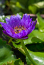 Purple lotus flower with bee many on pond Royalty Free Stock Photography