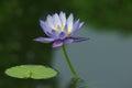 Purple lotus flower blooming in garden Royalty Free Stock Photo