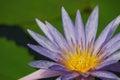 Purple lotus flower blooming in garden Stock Photos
