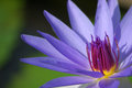 Purple lotus flower blooming in garden Royalty Free Stock Photography