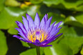 Purple lotus flower close up of in the pond Royalty Free Stock Photography