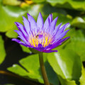 Purple lotus flower close up of in the pond square cropped Stock Photo