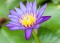 Purple lotus flower with yellow pollen Stock Photos