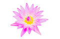 Purple lotus isolated on backgtound Royalty Free Stock Images