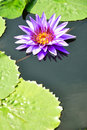 Purple Lotus in pool Royalty Free Stock Photo