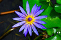Purple lotus with water droplets Royalty Free Stock Photo