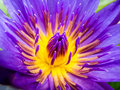 Purple Lotus Water Lilly pollen Royalty Free Stock Photo