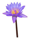 Purple lotus with yellow pollens isolated on white background Royalty Free Stock Images