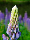 Purple lupin flower Royalty Free Stock Photos