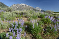 Purple lupine bloom in the foreground of snow capped mountains a field grows front Royalty Free Stock Photography