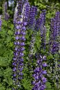 Purple Lupines Royalty Free Stock Photo