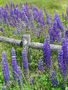 Purple lupines along a rail fence Royalty Free Stock Images