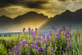 Purple lupines in the tetons summer lupine wildflowers underneath a stormy late afternoon sky over Stock Images