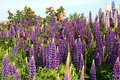 Purple Lupins Royalty Free Stock Image