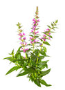 Purple lythrum plant Royalty Free Stock Photo